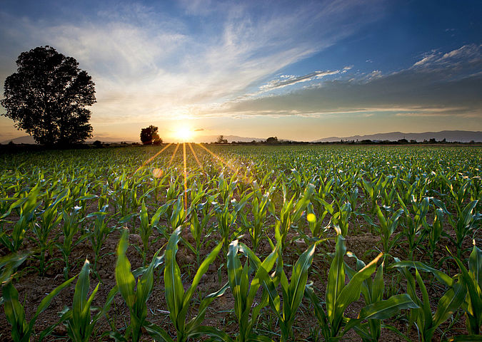 Maize on a field - the plants are one of the input materials of biogas plants.